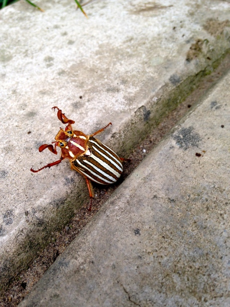 Ten-lined June Beetle (I think)