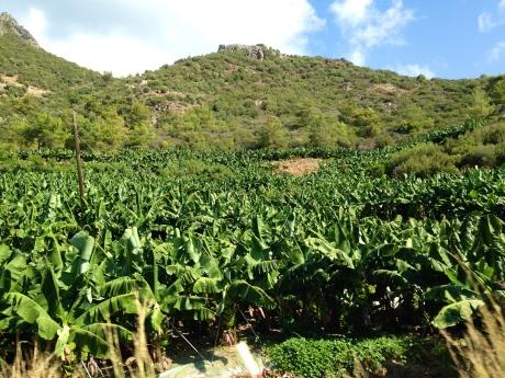 Muz (banana) farms